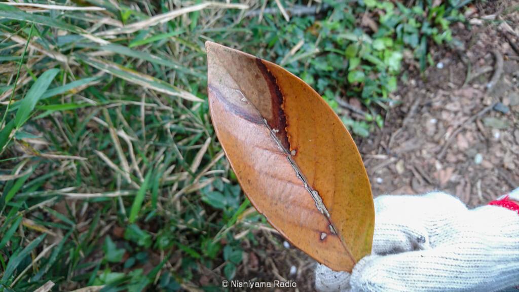 カメムシの様な落ち葉